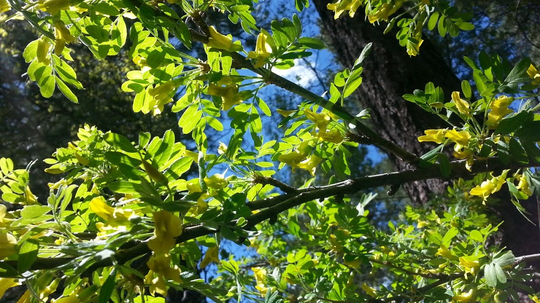 Green Leaves on Ash Tree